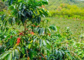 Shade Grown Coffee vs Sun Grown