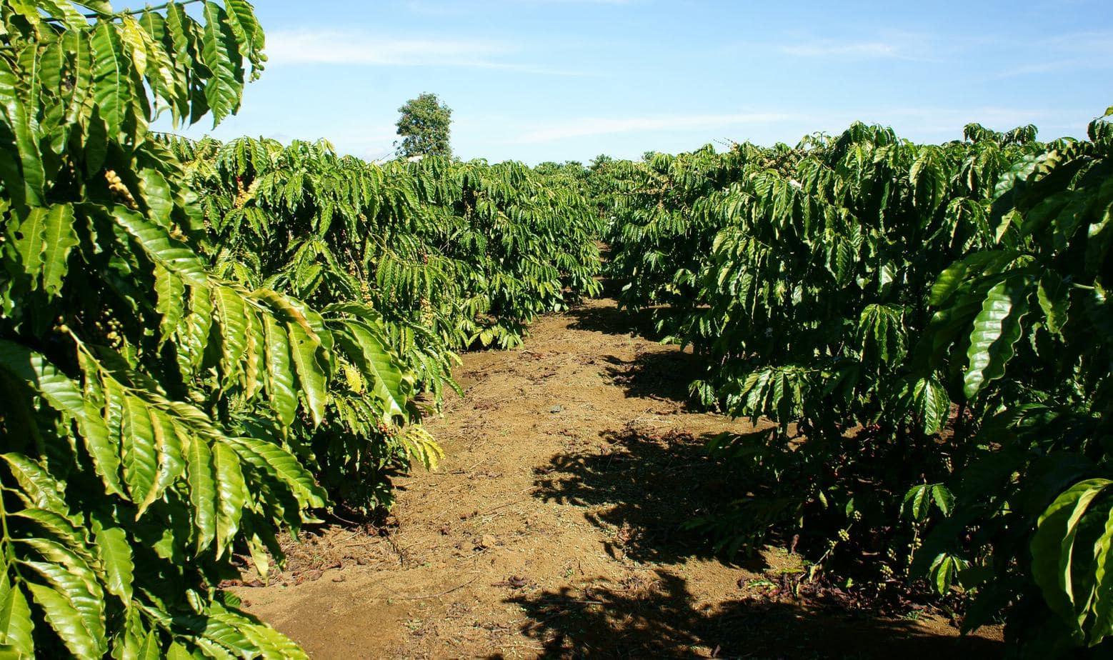 Sun Grown Coffee
