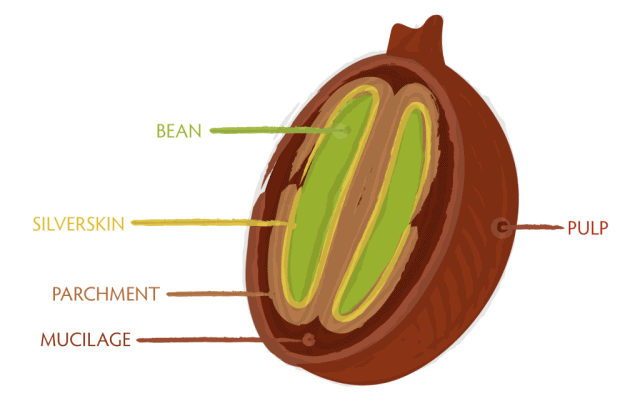 Coffee Bean Anatomy