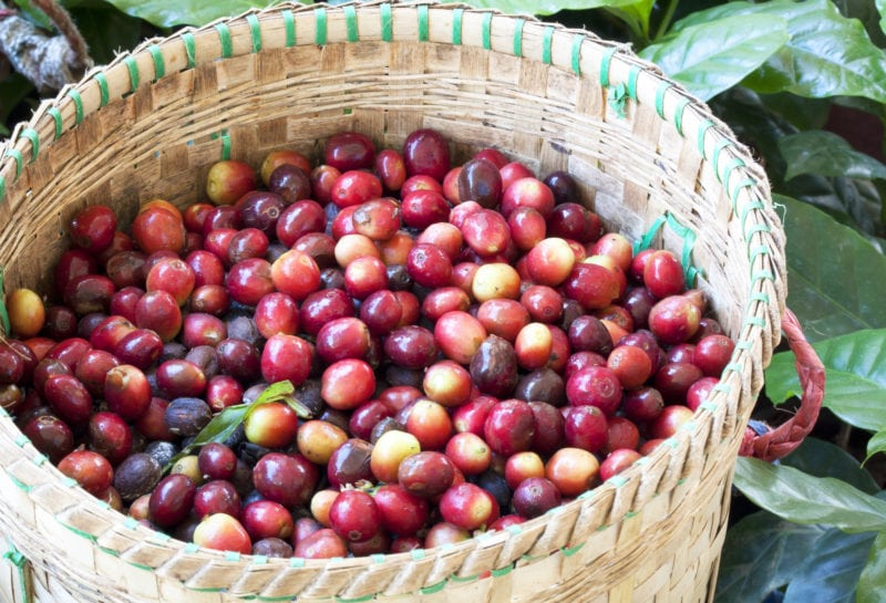Everything You Need To Know About The Coffee Cherry