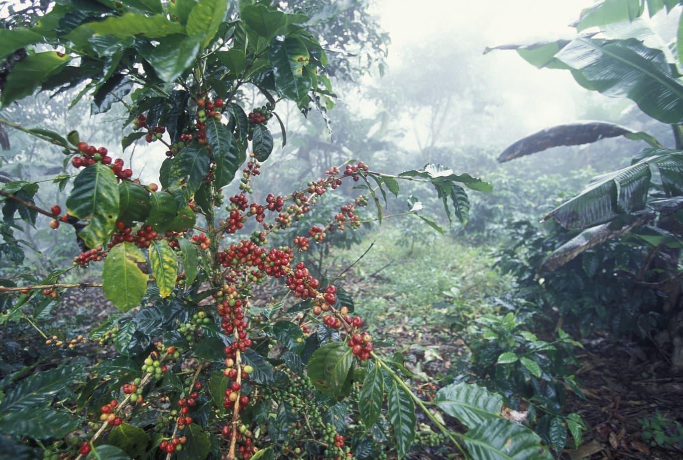 Honduras Coffee Plant