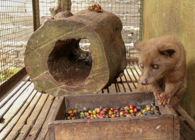 kopi luwak asian palm civet in cage