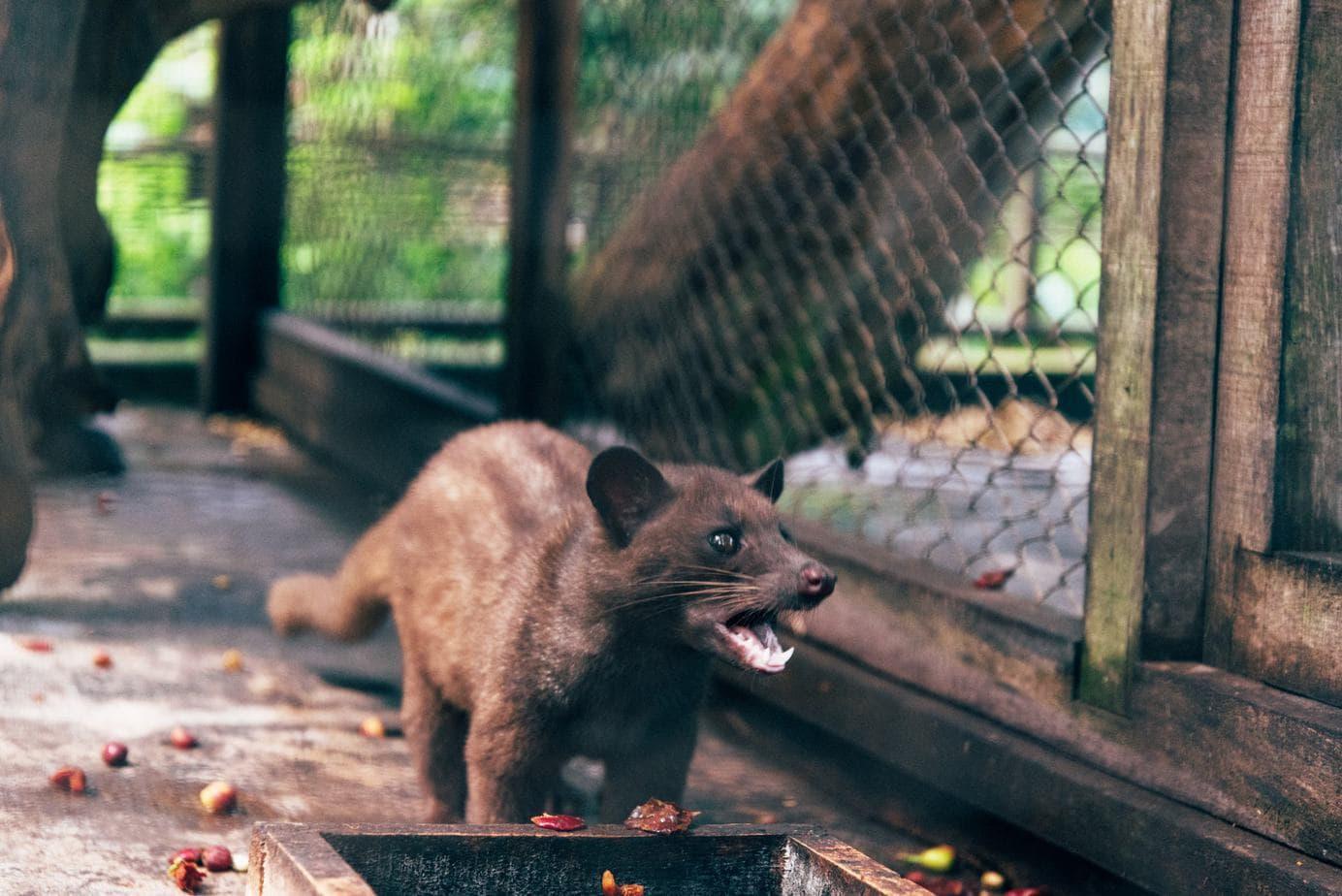 luwak civet in a cage