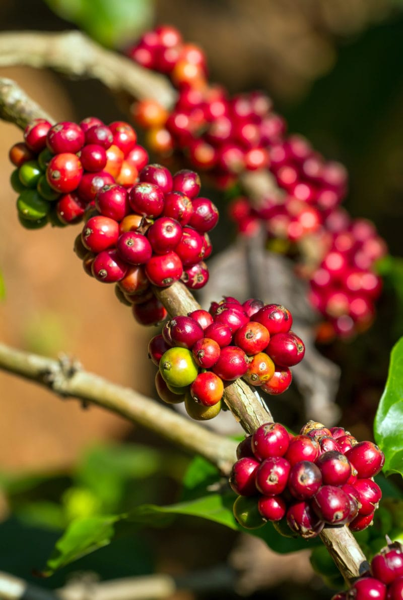 Organic vs Non-Organic Coffee: Differences And Similarities