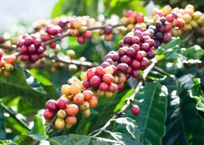 Nepal Coffee