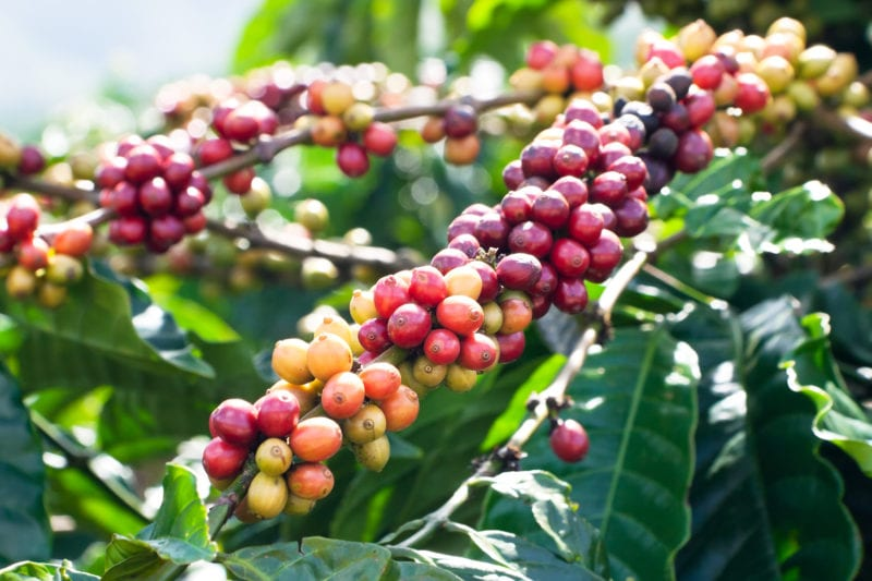 Ugandan Coffee: The Ideal Climate For Coffee Growing