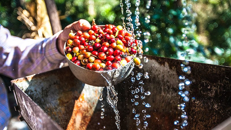 Washed vs. Unwashed Coffee: Comparing Wet & Dry Coffee Processing Methods