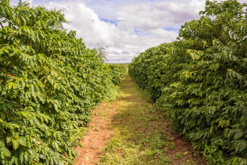 Zambia Coffee: Focused On Potential In Woodlands